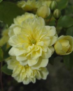 Rosa Lautea