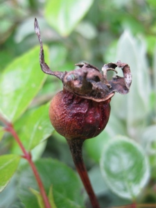 Dried up rose hip