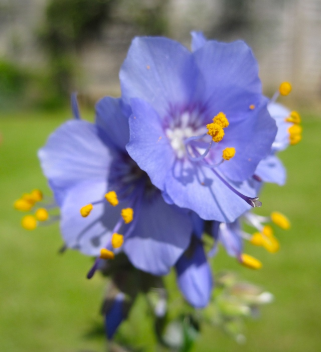Polemonium Heavenly Blue