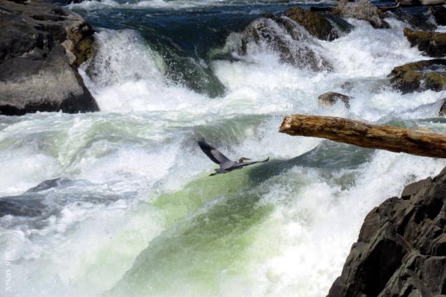 heron-over-the-potomac-falls_mphix