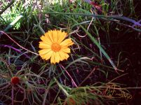 UK - Yellow Daisy - Thorncroft Road - 1324 - Nik Fix - Signed